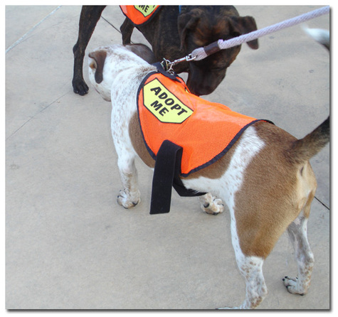 Bark Avenue Rescue Dogs in Adopt Me Vests at A Dog Day Afternoon Event